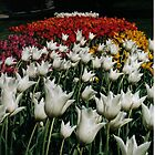Tulips Forever by heatherlynn
