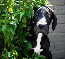 "Great Dane, Danedaze Baloo, ""Boo"" (Photo: S. Haynes) by dolnonsporting"