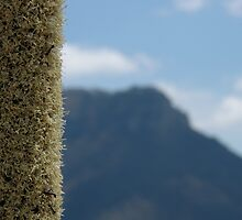 Xanthorrhoea with mountain by Colin12