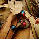 Jewelled Beetles  Ground Shield Bugs - Choerocoris paganus - (best viewed large)  by Samantha  Goode