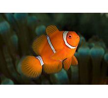 Spine-cheek Anemonefish Photographic Print