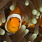 Western Clown Anemonefish by Ross Gudgeon