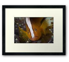 Skunk Anemonefish Framed Print