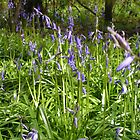 Bluebell Woods by elspeth2000
