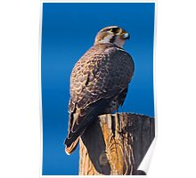 Prairie Falcon Poster