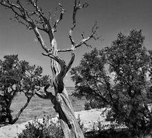 Grand Canyon Cedar by EvaMcDermott