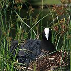 Eurasian Coot sitting on its nest by Andreas Koepke