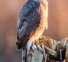 Cooper's Hawk by Jim Stiles