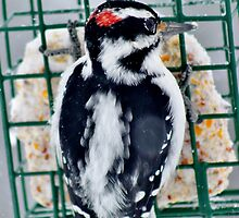 Hairy Woodpecker in the Storm by Kathleen Daley
