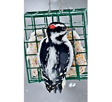Hairy Woodpecker in the Storm Photographic Print