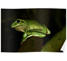 Green Tree Frog-9355 Poster