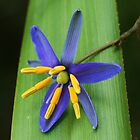 Nodding blue lily .. Stypandra glauca   by Michael Matthews