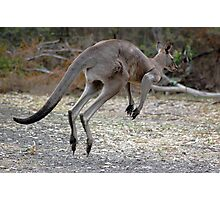 Eastern Grey Kangaroo Photographic Print