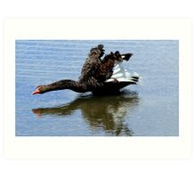 Black Swan Take Off Art Print