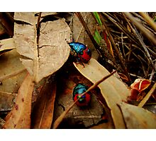 Jewelled Beetles -Taking a walk on the wild side  Photographic Print