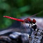 Red Dragonfly by GayeL Art