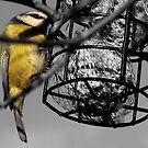 Hungry little Blue Tit by SNAPPYDAVE