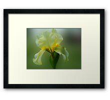 Yellow Iris Framed Print