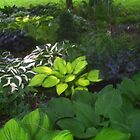 Beautiful Hosta by grannyjune