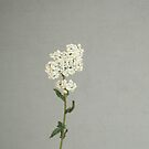 White Flowers by Cassia