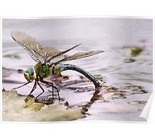 BLUE EMPEROR - Anax imperator Poster