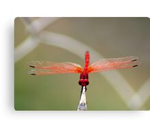 RED-VEINED DROPWING - TRITHEMISM ARTERIOSA Canvas Print