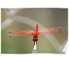 RED-VEINED DROPWING - TRITHEMISM ARTERIOSA Poster