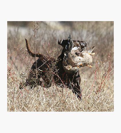 Chocolate Lab with Duck Photographic Print