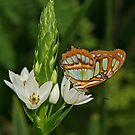 Malachite Butterfly & Flower by Robert Abraham