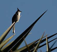 Red-Whiskered Bulbul by Karen Zimmerman