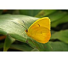 Sulfur Butterfly  Photographic Print