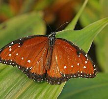 Queen Butterfly by Robert Abraham