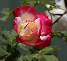Rose by MrHoot