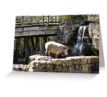Bearded Pig Greeting Card