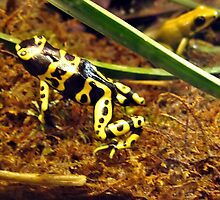 Poisonous Dart Frog by Tracy DeVore