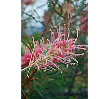 Pink Grevillea after the rain Photographic Print