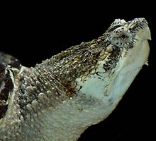 Alligator Snapping Turtle by Dennis Stewart