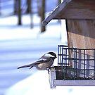 Chickadee @ Feeder by Stephen Thomas
