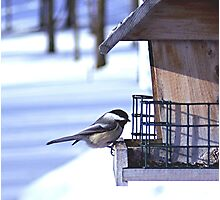 Chickadee @ Feeder Photographic Print