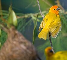 Golden Palm Weaver by Peter Denness