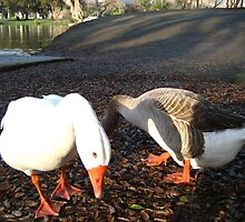 Geese_2 by K Y R S T I E  kyle Photography