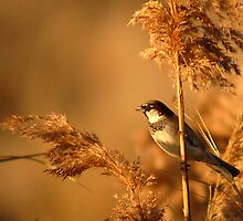 House Sparrow on Marsh Grass by Ryan Houston