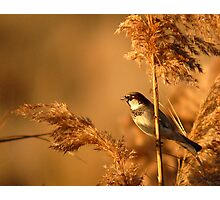 House Sparrow on Marsh Grass Photographic Print