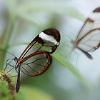 Glasswing butterflies by hanspeters