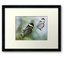 Glasswing butterflies Framed Print