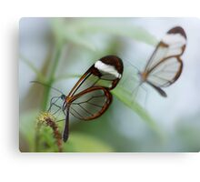 Glasswing butterflies Canvas Print