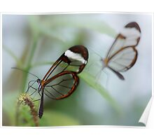Glasswing butterflies Poster