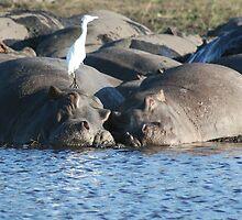 Hippo - Chobe National Park, Botswana, July 2008 by Sarah Doornbusch