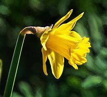 Daffodil ~ Impressions by Susie Peek