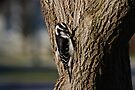 Hairy Woodpecker by Lynda  McDonald